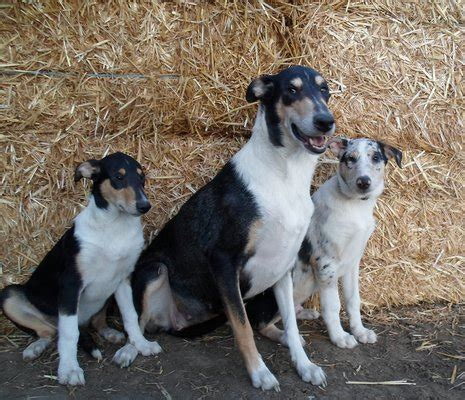 """Colley à poils ras ( Smooth Colley)(""""Lassie"""") - Chiens"""
